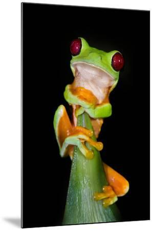 Red-Eyed Tree Frog (Agalychnis callidryas), Tarcoles River, Pacific Coast, Costa Rica--Mounted Photographic Print