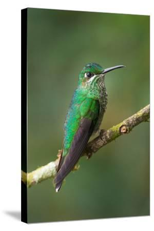 Green-Crowned Brilliant (Heliodoxa jacula), Savegre, Costa Rica--Stretched Canvas Print