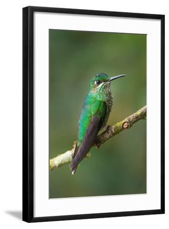 Green-Crowned Brilliant (Heliodoxa jacula), Savegre, Costa Rica--Framed Photographic Print