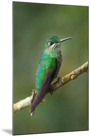 Green-Crowned Brilliant (Heliodoxa jacula), Savegre, Costa Rica--Mounted Photographic Print