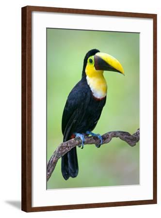 Keel-Billed toucan (Ramphastos sulfuratus), Sarapiqui, Costa Rica--Framed Photographic Print