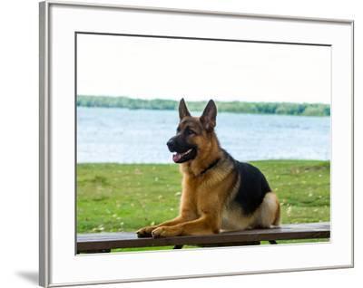 German shepherd dog sitting by river--Framed Photographic Print
