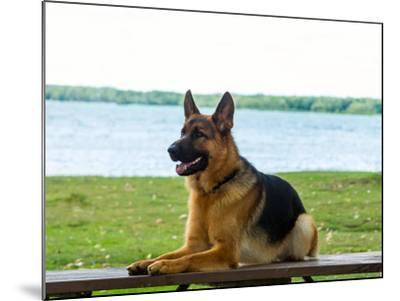 German shepherd dog sitting by river--Mounted Photographic Print
