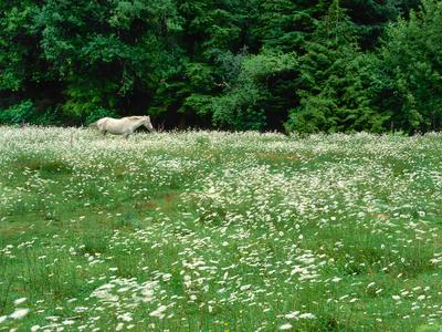 White Horse in a field of white daisies, near Seaside, Clatsop County, Northern Coast, Oregon, USA--Framed Photographic Print