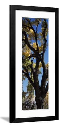 Low angle view of a cottonwood tree, New Mexico, USA--Framed Photographic Print