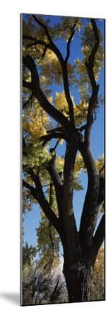 Low angle view of a cottonwood tree, New Mexico, USA--Mounted Photographic Print