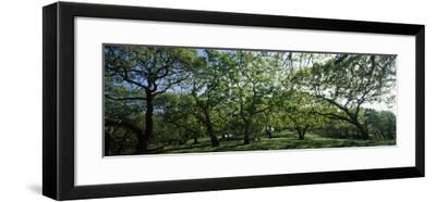 Oak trees (Quercus) in a field--Framed Photographic Print