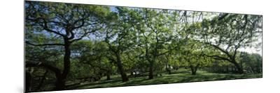 Oak trees (Quercus) in a field--Mounted Photographic Print