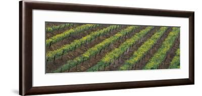 Oilseed rape with grape vines in a vineyard--Framed Photographic Print