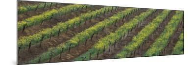 Oilseed rape with grape vines in a vineyard--Mounted Photographic Print