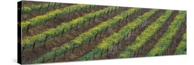 Oilseed rape with grape vines in a vineyard--Stretched Canvas Print
