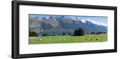 Sheep grazing in pasture near Blanket Bay Lodge, Lake Wakatipu, New Zealand--Framed Photographic Print