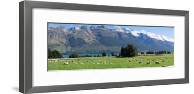 Sheep grazing in pasture near Blanket Bay Lodge, Lake Wakatipu, New Zealand--Framed Photographic Print