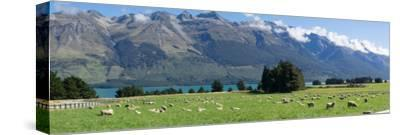Sheep grazing in pasture near Blanket Bay Lodge, Lake Wakatipu, New Zealand--Stretched Canvas Print