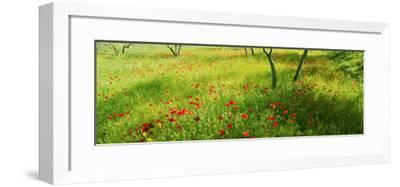 Poppies field in bloom, Umbria, Italy--Framed Photographic Print
