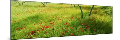 Poppies field in bloom, Umbria, Italy--Mounted Photographic Print