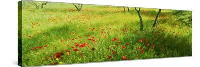 Poppies field in bloom, Umbria, Italy--Stretched Canvas Print