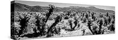 Cholla cactus in Joshua Tree National Park, California, USA--Stretched Canvas Print