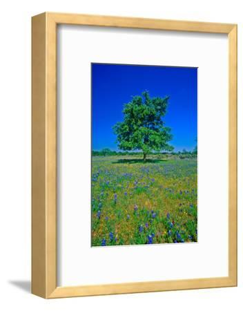 Bluebonnets in bloom with tree on hill, Spring Willow City Loop Road, TX--Framed Photographic Print
