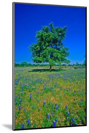Bluebonnets in bloom with tree on hill, Spring Willow City Loop Road, TX--Mounted Photographic Print
