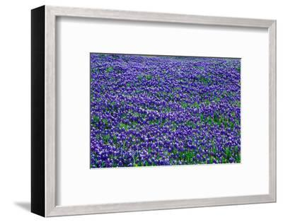 Field of bluebonnets in bloom Spring Willow City Loop Rd. TX--Framed Photographic Print