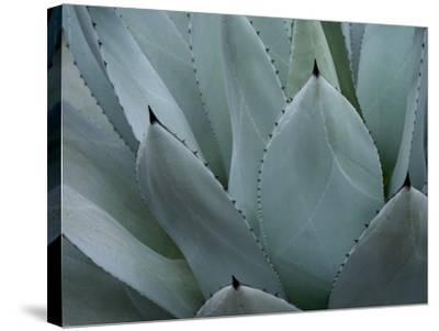 Whale's Tongue Agave-Karen Ussery-Stretched Canvas Print