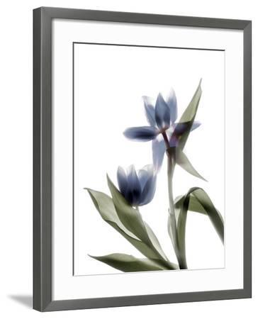 Xray Tulip VIII-Judy Stalus-Framed Photographic Print