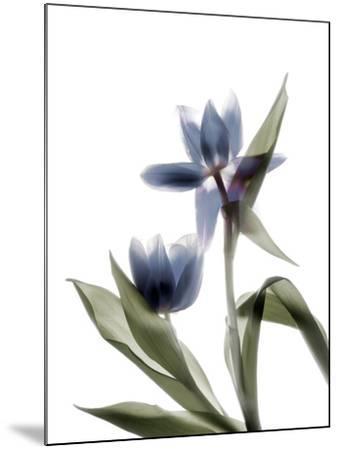 Xray Tulip VIII-Judy Stalus-Mounted Photographic Print
