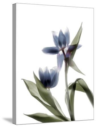 Xray Tulip VIII-Judy Stalus-Stretched Canvas Print