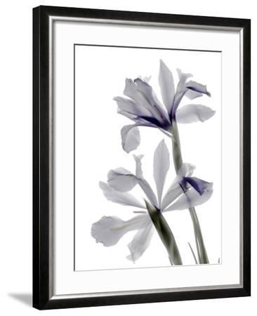 Xray Iris-Judy Stalus-Framed Photographic Print