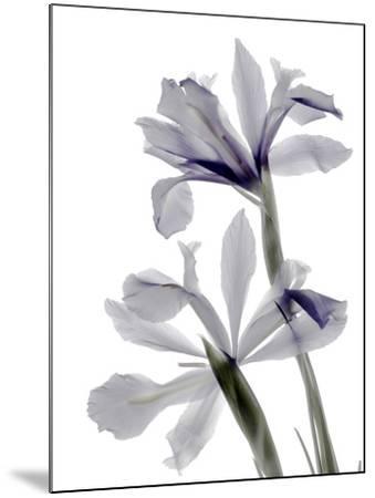 Xray Iris-Judy Stalus-Mounted Photographic Print