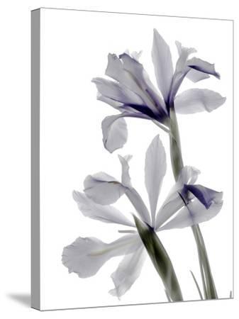 Xray Iris-Judy Stalus-Stretched Canvas Print