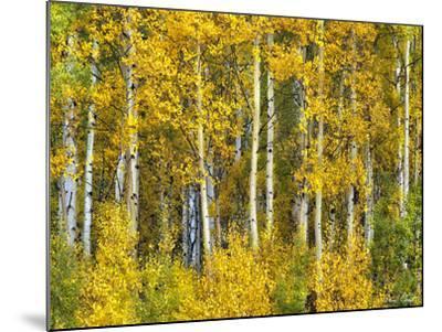 Yellow Woods II-David Drost-Mounted Photographic Print