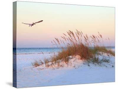 A Brown Pelican Flies over a White Sand Florida Beach at Sunrise-Steve Bower-Stretched Canvas Print