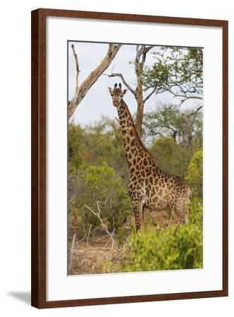 Giraffe (Giraffa camelopardalis), Mkhaya Game Reserve, Swaziland, Africa-Christian Kober-Framed Photographic Print