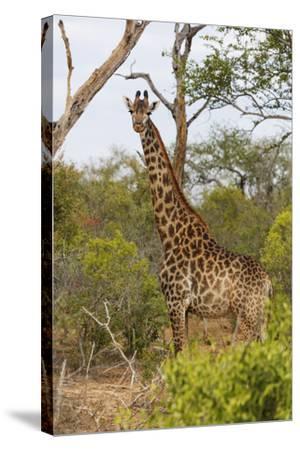 Giraffe (Giraffa camelopardalis), Mkhaya Game Reserve, Swaziland, Africa-Christian Kober-Stretched Canvas Print