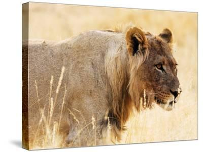 Young lion , Kgalagadi Transfrontier Park, Kalahari, Northern Cape, South Africa, Africa-Christian Kober-Stretched Canvas Print