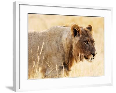 Young lion , Kgalagadi Transfrontier Park, Kalahari, Northern Cape, South Africa, Africa-Christian Kober-Framed Photographic Print