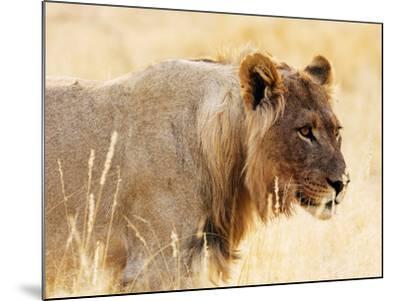 Young lion , Kgalagadi Transfrontier Park, Kalahari, Northern Cape, South Africa, Africa-Christian Kober-Mounted Photographic Print