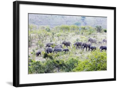 African elephant herd, , Hluhluwe-Imfolozi Park, Kwazulu-Natal, South Africa, Africa-Christian Kober-Framed Photographic Print