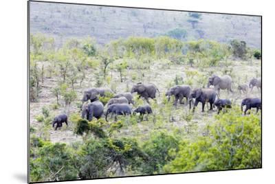 African elephant herd, , Hluhluwe-Imfolozi Park, Kwazulu-Natal, South Africa, Africa-Christian Kober-Mounted Photographic Print