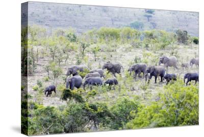 African elephant herd, , Hluhluwe-Imfolozi Park, Kwazulu-Natal, South Africa, Africa-Christian Kober-Stretched Canvas Print