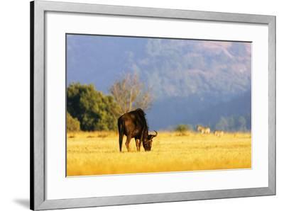Blue wildebeest (Connochaetes taurinus), Mlilwane Wildlife Sanctuary, Swaziland, Africa-Christian Kober-Framed Photographic Print