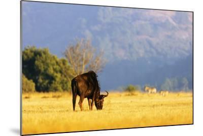 Blue wildebeest (Connochaetes taurinus), Mlilwane Wildlife Sanctuary, Swaziland, Africa-Christian Kober-Mounted Photographic Print