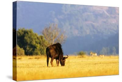 Blue wildebeest (Connochaetes taurinus), Mlilwane Wildlife Sanctuary, Swaziland, Africa-Christian Kober-Stretched Canvas Print