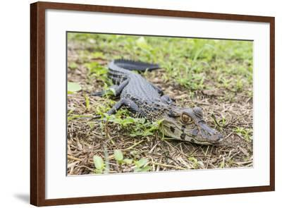 A juvenile captive black caiman (Caiman niger), San Francisco Village, Loreto, Peru, South America-Michael Nolan-Framed Photographic Print