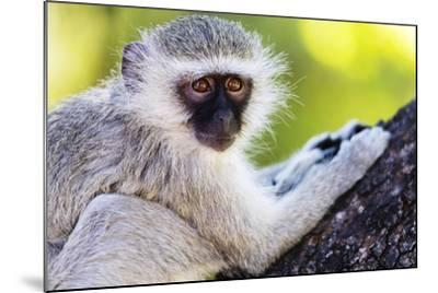 Vervet monkey , Augrabies Falls Nat'l Park, Northern Cape, South Africa, Africa-Christian Kober-Mounted Photographic Print