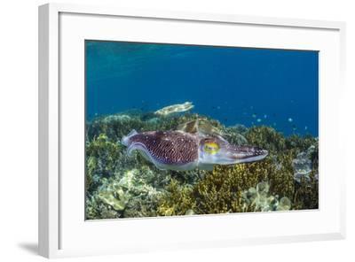 Adult broadclub cuttlefish courtship display, Sebayur Island, Flores Sea, Indonesia, Southeast Asia-Michael Nolan-Framed Photographic Print