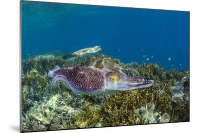 Adult broadclub cuttlefish courtship display, Sebayur Island, Flores Sea, Indonesia, Southeast Asia-Michael Nolan-Mounted Photographic Print