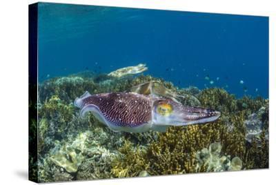 Adult broadclub cuttlefish courtship display, Sebayur Island, Flores Sea, Indonesia, Southeast Asia-Michael Nolan-Stretched Canvas Print